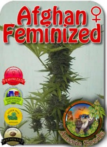 AU_Afghan_Feminized_Seeds
