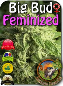 AU_Big_Bud_Feminized_Seeds