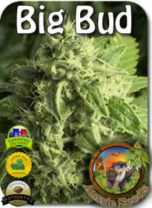 AU_Big_Bud_Seeds