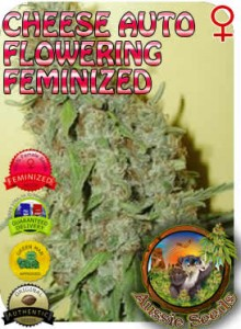 AU_Cheese_AUTO_Feminized_Seeds