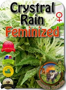 AU_Crystal_Rain_Feminized_Seeds