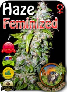 AU_Haze_Feminized_Seeds