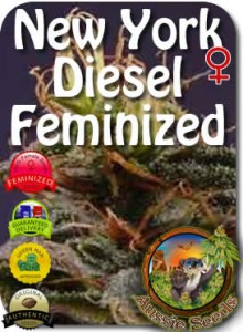 AU_New_York_Diesel_Feminized_Seeds