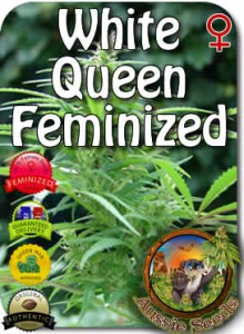 AU_White_Queen_Feminized_Seeds