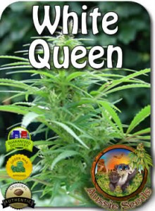 AU_White_Queen_Seeds